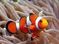 pez-payaso-anemona
