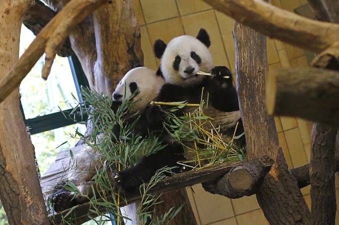 Foto tomada el 16 de octubre de 2012, muestra al panda Fu Hu (der.) comiendo bambú en el zoológico de Schönbrunn en Viena, Austria. (Alexander Klein/ AFP/ Getty Images)
