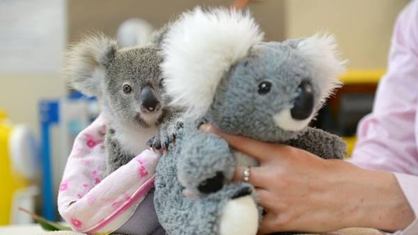peluche-consuelo-bebe-koala-afp_claima20160919_0150_28