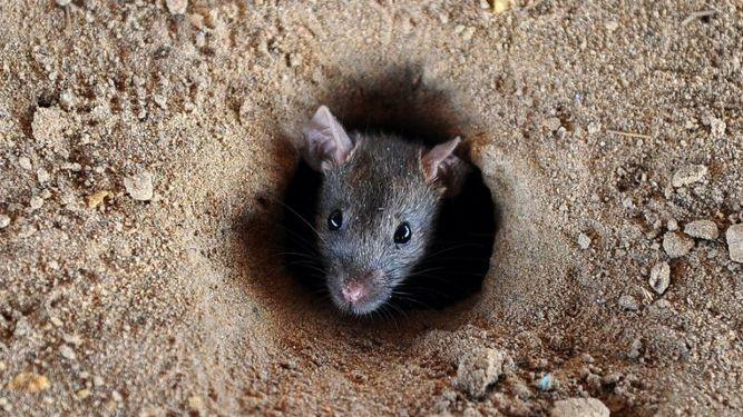 ratas-pueden-transmitir-enfermedades-humano_964114508_115540503_667x375