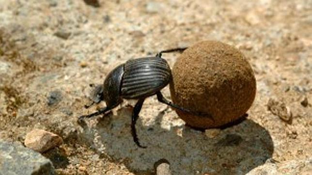 escarabajo-pelotero-644x362