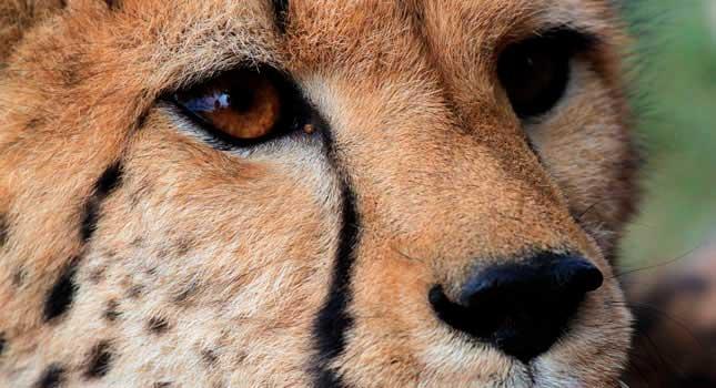 guepardo-cheetah-peligro-extincion-africa