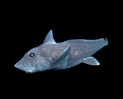 ghost-shark-500x400