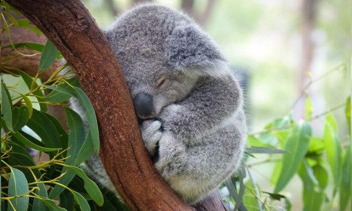 baby-koala-i-700x420-1