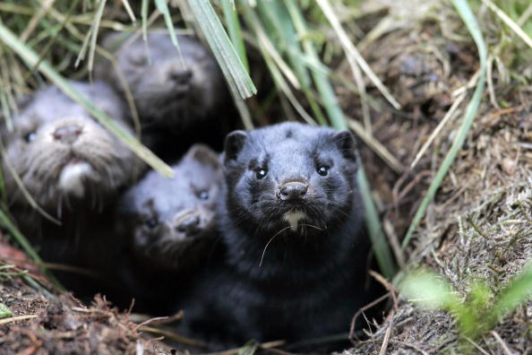 A group of mink take shelter in a hole i